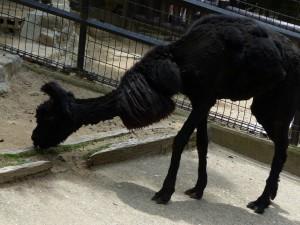 五月山動物園アルパカ黒
