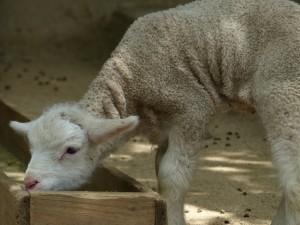 五月山動物園子羊