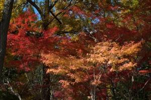 摂津峡紅葉