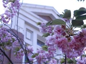 造幣局バック桜