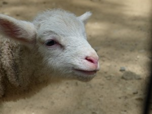 五月山動物園子羊2