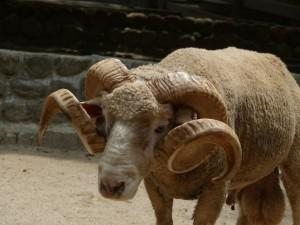 五月山動物園羊