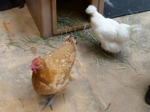 五月山動物園鶏