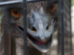 五月山動物園エミュー